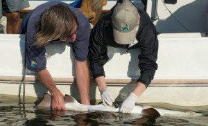 Julie-Larsen-Maher_2384_Shark-Tagging-Sand-Tiger-Sharks-Hans-Walters-Alissa-Newton_NY_08-19-14_hr-e1465492371168-636x386-1-300x182