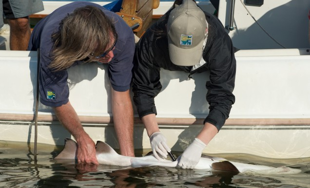 Julie Larsen Maher_2384_Shark Tagging Sand Tiger Sharks Hans Walters Alissa Newton_NY_08 19 14_hr